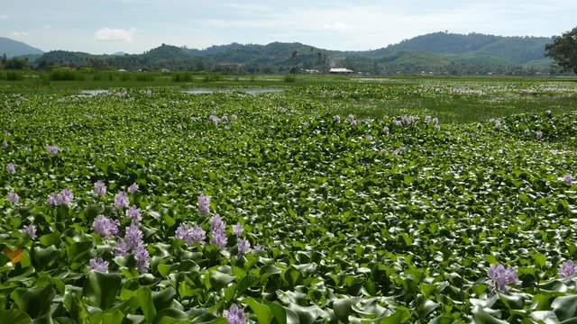 Eichhornia_crassipes_field_at_Langkawi.jpg