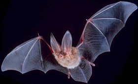 Big-eared-townsend-fledermaus.jpg