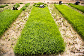 Rice producers began cultivating paddies at the end of March and it will continue until the end of June.