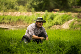 The rice producers prefer to do all tasks of their paddies with their relatives as the price of cultivating the fields by others is very high.