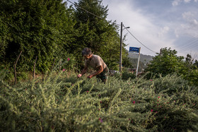 Considering the favorable climate and conditions for growing medicinal plants in northern Iran, it can be one of the most important opportunities for creating jobs in these areas.