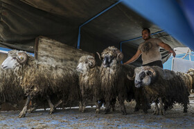 First import of Romanian sheep into Iran