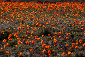 Beautiful corn poppy flower field, Qom, Iran, April 14, 2019.