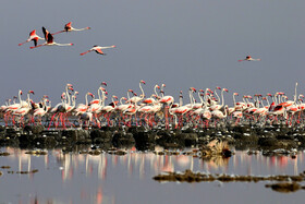 Flamingoes of Shdegan Ponds are seen in the photo, Khuzestan, Iran, June 15, 2019.