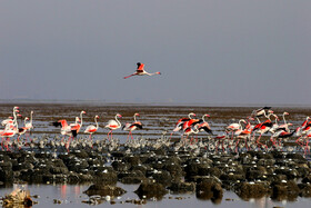 Flamingoes of Shdegan Ponds are seen in the photo, Khuzestan, Iran, June 15, 2019. At this time, flamingoes incubate their eggs in Shadegan Ponds and it is estimated that the current population of flamingoes in the wetland, which is 6,200, will be increased to 7,000.