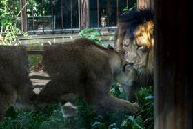 Persian lions start living together