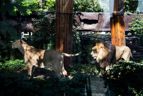 """The Persian lion and Persian lioness of Tehran Zoological Garden called """"Hiraman"""" and """"Ilda"""" respectively, start living together, Tehran, Iran, August 10, 2019. Hiraman and Ilda were transferred to Tehran Zoological Garden according to the Endangered Species Programme (EEP) of The European Association of Zoos and Aquaria (EAZA)."""
