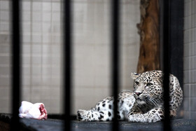 "A Persian leopardess called ""Mavi"" is seen in the photo, Tehran, Iran, December 28, 2019.