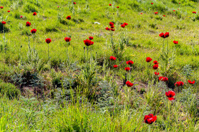 Beautiful corn poppies in the foothills of Mount Damavand, Mazandaran, Iran, June 22, 2020.