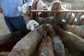 Sheep are sold on the occasion of Eid al-Adha in Hamedan, Iran, July 30, 2020. Crowds of people went to places for purchasing sheep without observing health protocols.