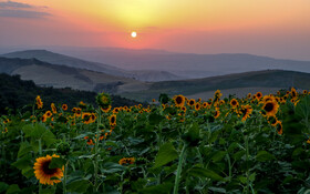 The beautiful sunflower fields of Golidagh, Golestan, Iran, August 10, 2020.