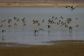 Migratory birds in Agh-Gol wetland, Hamadan, Iran, November 18, 2020.