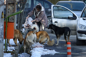 Free-ranging dogs are fed by a woman, Hamadan, Iran, December 25, 2020.