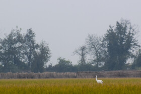 A Siberian white crane called Omid is seen in the photo, Mazandaran, Iran, December 27, 2020. Omid migrates to Iran every year while being alone. Currently, it is wintering in Fereydunkenar city of Mazandaran province.