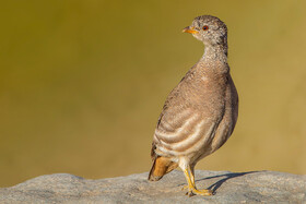 A see-see partridge, one of bird species found in Khorasan Province, Iran, May 9, 2021.