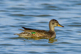 A Eurasian teal, one of bird species found in Khorasan Province, Iran, May 9, 2021.