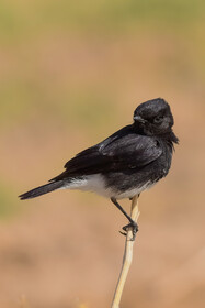 A black wheatear, one of bird species found in Khorasan Province, Iran, May 9, 2021.