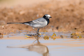 A white wagtail, one of bird species found in Khorasan Province, Iran, May 9, 2021.