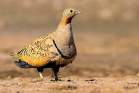 A black-bellied sandgrouse, one of bird species found in Khorasan Province, Iran, May 9, 2021.