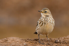 A water pipit, one of bird species found in Khorasan Province, Iran, May 9, 2021.