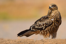 A black kite, one of bird species found in Khorasan Province, Iran, May 9, 2021.