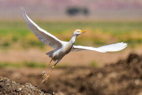A cattle egret, one of bird species found in Khorasan Province, Iran, May 9, 2021.