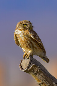 A little owl, one of bird species found in Khorasan Province, Iran, May 9, 2021.