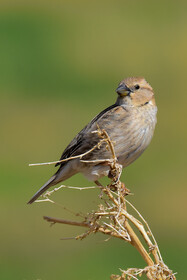 A sparrow, one of bird species found in Khorasan Province, Iran, May 9, 2021.