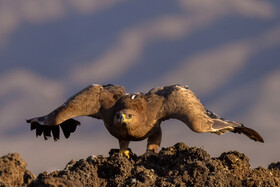 A steppe eagle, one of bird species found in Khorasan Province, Iran, May 9, 2021.