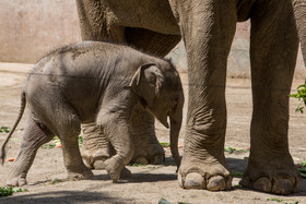 A recently-born elephant baby takes first steps at Tehran's Eram Park Zoo, Iran, July 6, 2021.