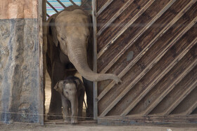 Elephant baby takes first steps in public