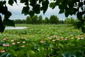 The beautiful Indian lotus in one of the wetlands of Mazandaran Province, Iran, July 14, 2021.