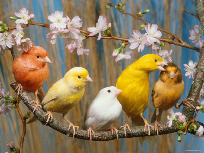 Five-Canaries-of-Different-Colors-th3