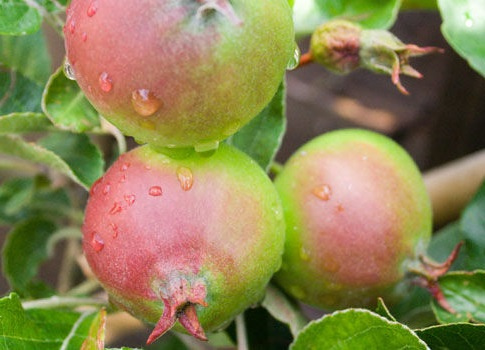 small-apples