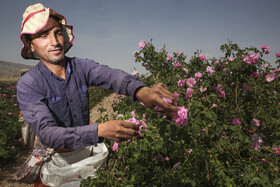 Picking roses in Meymand city, Fars, Iran, April 28, 2021. Meymand is one of the main cities of Iran in the production of roses. Over 10 thousand tons of rose water is produced annually in this city.