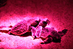 Newly hatched turtles on Kish Island