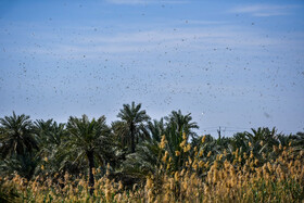 Hundreds of locusts swarm into the fields of Abadan City, Iran, March 10, 2020.