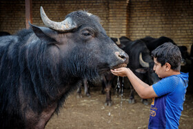 A little boy wants to get a buffalo drink water, Khuzestan, Iran, May 29, 2021. Due to water shortage and the pollution of some rivers in Khuzestan, buffalos have got infectious and skin diseases.