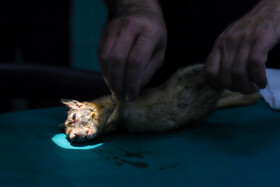 The eye treatment of a squirrel diagnosed with cataract, Tabriz, Iran, September 11, 2020.